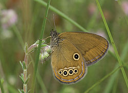 Coenonympha oedippus - Nature Conservation-001-073-g034.jpg