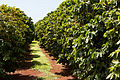 Coffee plantation, Kauaʻi 59.jpg