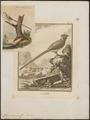 Colius capensis - 1700-1880 - Print - Iconographia Zoologica - Special Collections University of Amsterdam - UBA01 IZ19300005.tif