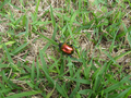 Colorful beetle from Brasília, Brazil in the grass 1.png