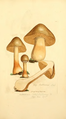 Coloured Figures of English Fungi or Mushrooms - t. 130.png