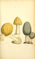 Coloured Figures of English Fungi or Mushrooms - t. 51.png