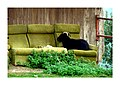 Comfortable Goat (10284688563).jpg