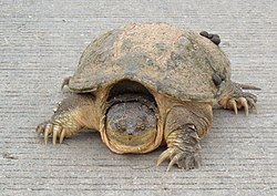 Common-snapping-turtle.jpg