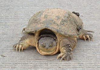 Road ecology - Snapping turtle (Chelydra serpentina) crossing a road