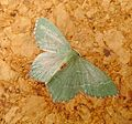 Common Emerald. Hemithea aestivaria - Flickr - gailhampshire.jpg