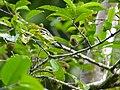 Common Iora (Aegithina tiphia) (15385063667).jpg