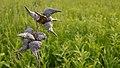 Common Milkweed (Asclepias syriaca) - Norfolk County, Ontario 2019-06-09 (01).jpg