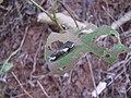 Common Mormon (Papilio polytes) caterpillar(1).jpg