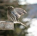 Common Redpoll, Cloud Bay, Ontario (31685104521).jpg