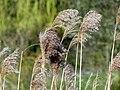 Common Reed (Phragmites australis) (16405233824).jpg