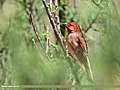 Common Rosefinch (Carpodacus erythrinus) (34356100383).jpg