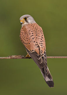 Common kestrel falco tinnunculus.jpg