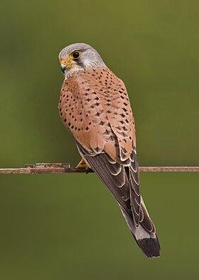 Βραχοκιρκίνεζο (Falco tinnunculus)
