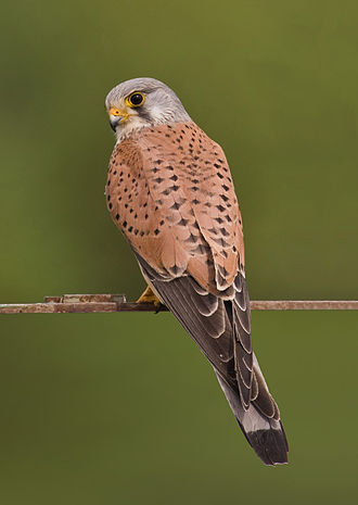 Common kestrel - Adult male Falco tinnunculus tinnunculus
