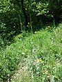 Conringia austriaca sl11.jpg