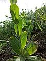 Conringia orientalis sl41.jpg
