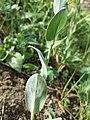 Conringia orientalis sl46.jpg