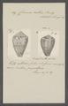 Conus catus - - Print - Iconographia Zoologica - Special Collections University of Amsterdam - UBAINV0274 085 10 0041.tif