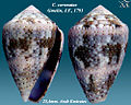 Conus coronatus 3.jpg
