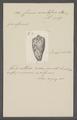 Conus nimbosus - - Print - Iconographia Zoologica - Special Collections University of Amsterdam - UBAINV0274 085 10 0079.tif