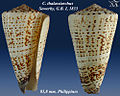 Conus thalassiarchus 2.jpg