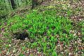 Convallaria majalis in nature reserve Skocicky hrad in spring 2013 (3).JPG