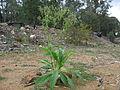 Conyza sumatrensis plant3 Rylestone (15007064215).jpg