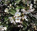 Cordia boisseri flowers.jpg