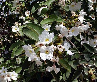 Cordia - Cordia boissieri in bloom
