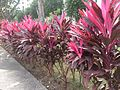 Cordyline fruticosa Rubra.jpg
