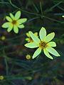 Coreopsis. Meisjesogen.JPG