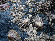Barnacles and limpets compete for space in the intertidal zone.