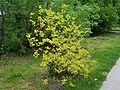 Cornus alba a1.jpg