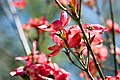 Cornus florida var. rubra Cherokee Brave 1zz.jpg
