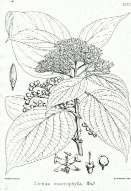 Cornus macrophylla Bra32