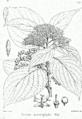 Cornus macrophylla Bra32.png