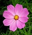 Correo (Cosmos bipinnatus) - Flickr - Alejandro Bayer.jpg