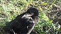 Corvus frugilegus nestling 2.jpg