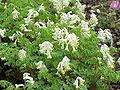Corydalis ochroleuca1.jpg