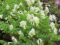 Corydalis ochroleuca1
