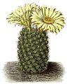 Coryphantha radians BlKakteenT102.jpg