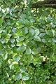 Cotoneaster divaricatus kz05.jpg
