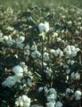 Cotton Plant.png