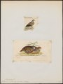 Coturnix erythrorhyncha - 1700-1880 - Print - Iconographia Zoologica - Special Collections University of Amsterdam - UBA01 IZ17100141.tif
