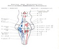Cranial Nerve Nuclei.tif