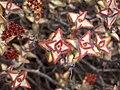Crassula rupestris-PICT3079.jpg