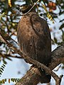 Crested Serpent Eagle (Spilornis cheela) in Kinnarsani WS, AP W IMG 5884.jpg