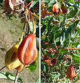 Crinodendron patagua, seed pods (9118390854).jpg