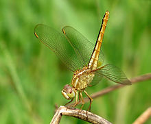 Crocothemis servilia female by kadavoor.jpg